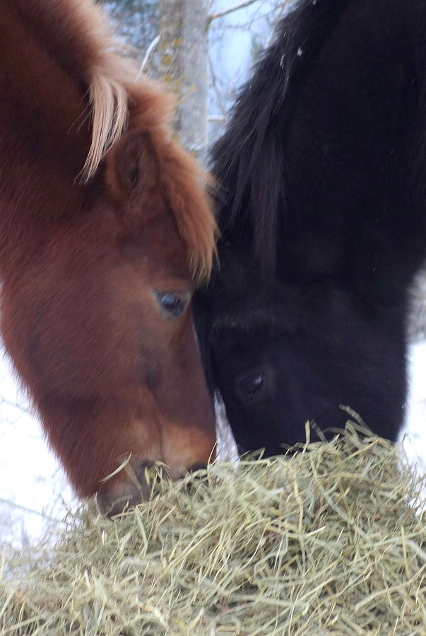 Horse Photograph - Best Buddies Sharing A Delicious Meal by Hilde Widerberg