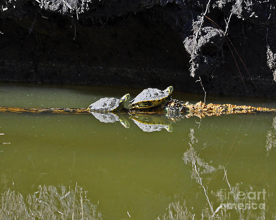 Turtle Photograph - Sharing Sliders by Al Powell Photography USA