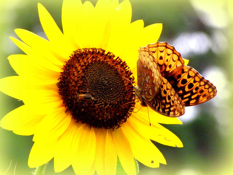 Flower Photograph - Sharing The Sunflower by Kim Galluzzo Wozniak
