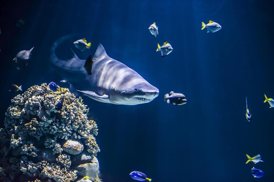 Aggressive Photograph - Shark Hunting by Jaroslaw Grudzinski