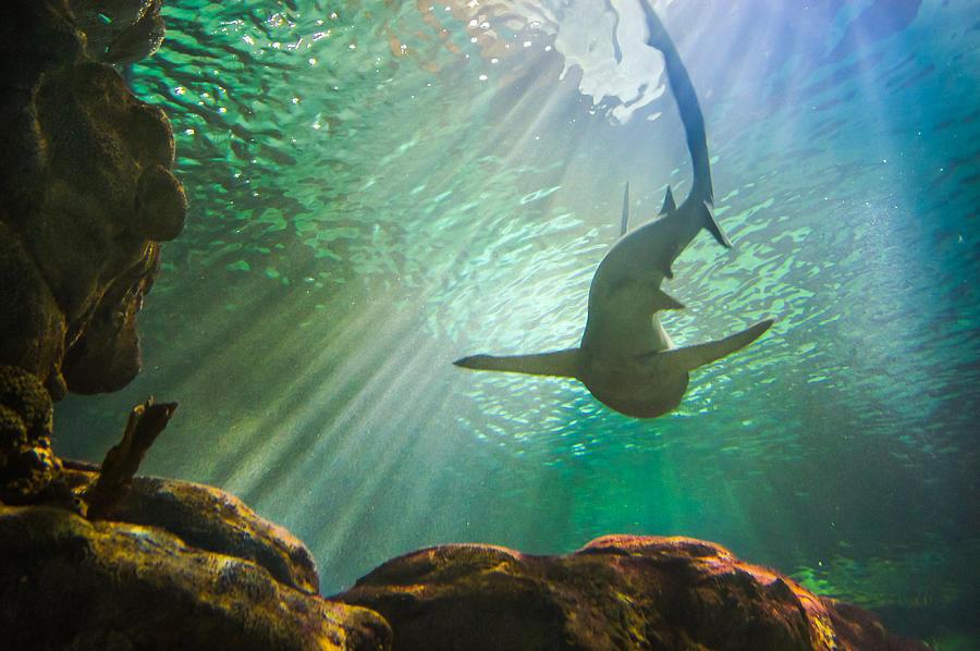 Aquarium Photograph - Shark Tank by Bill Pevlor