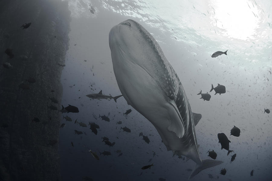 Whale Photograph - Sharks by David Valencia