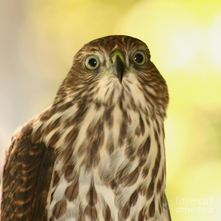Sharp-shinned Hawk Photograph - Sharp-shinned Hawk by Bob and Jan Shriner