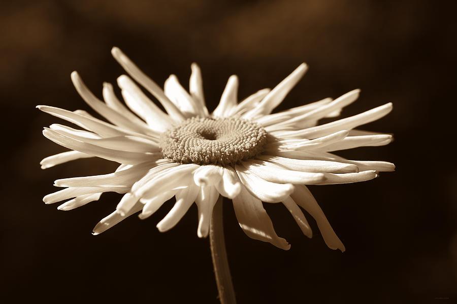 Shasta Daisy Photograph - Shasta Daisy Flower Sepia by Jennie Marie Schell
