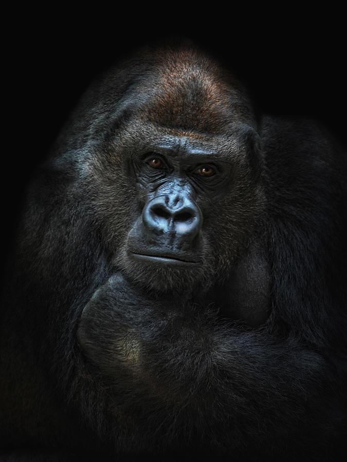 She-gorilla Photograph