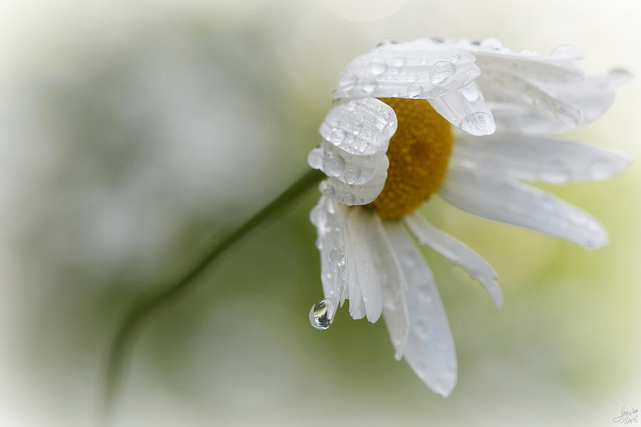 Lisa Knechtel Photograph - Shedding A Tear by Lisa Knechtel