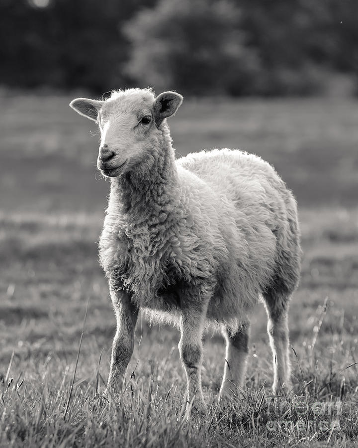 Wall Decor Photograph - Sheep Art  by Lucid Mood