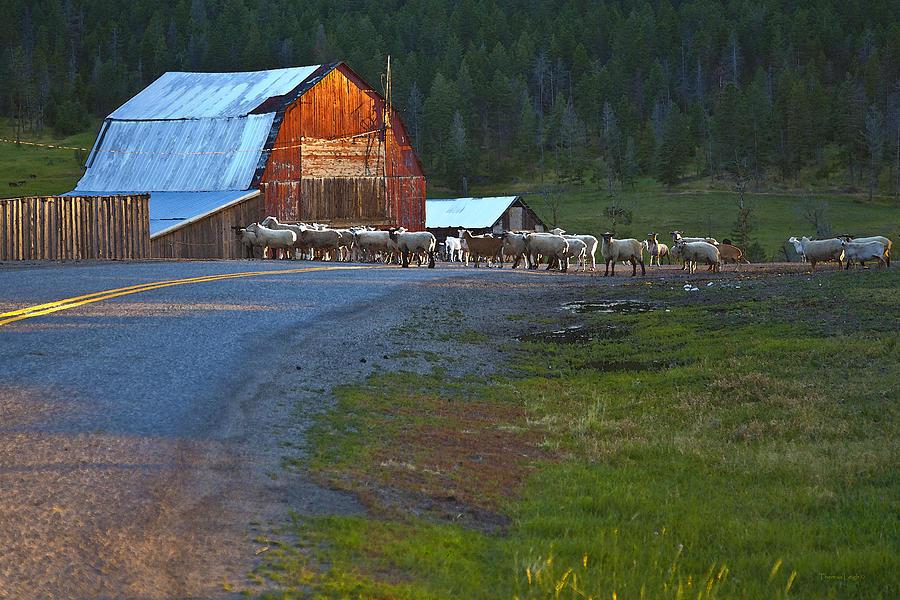 Red Barn Photograph - Sheep Crossing by Theresa Tahara