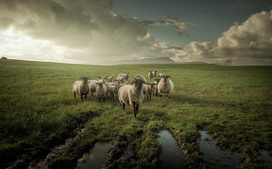 Sheep Photograph - Sheep by David Ahern