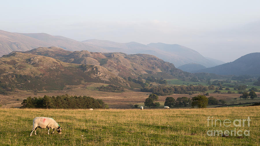 Britain Photograph - Sheep Grazing above Dale Bottom with High Rigg and Helvellyn in  by Chris Blake