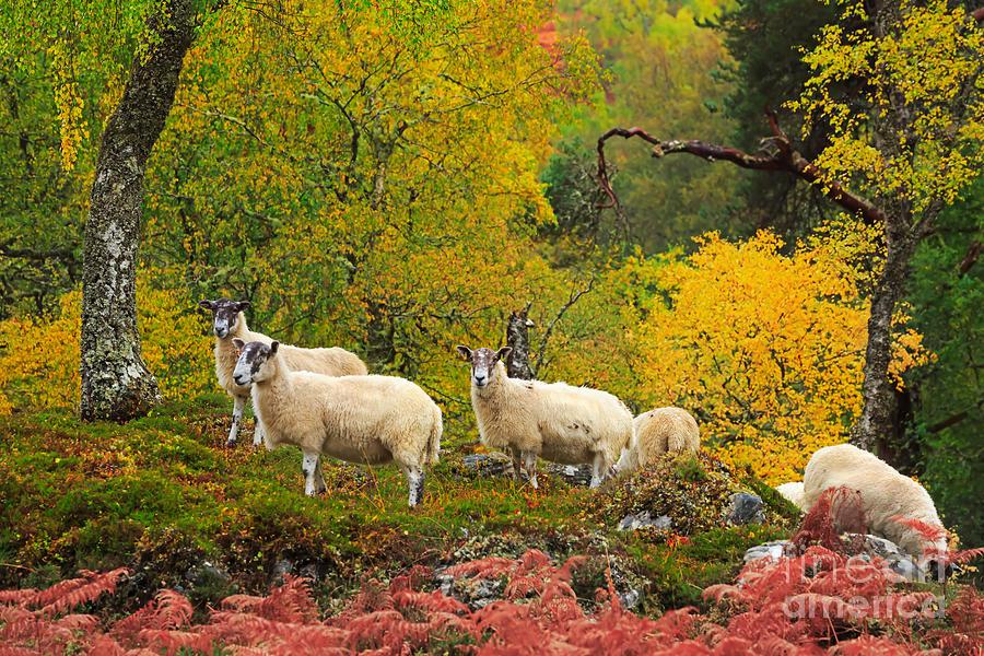 Sheep Home Decor