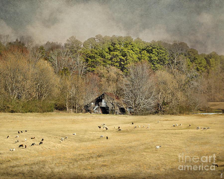 Barn Photograph - Sheep In The South by Jai Johnson