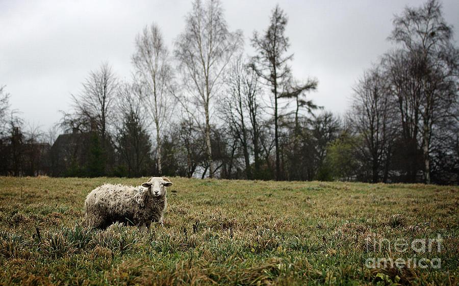 White Sheep Photograph - Sheep In Village Field by Jolanta Meskauskiene