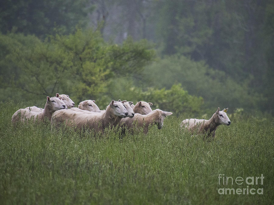 Sheep looking right 052313 by Gene  Marchand