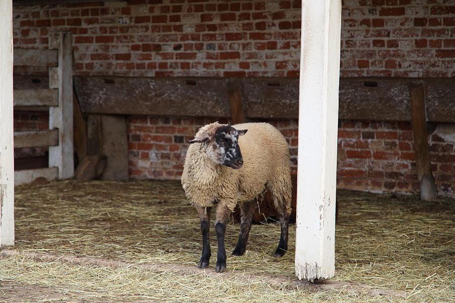 Mt Photograph - Sheep - Mt Vernon - 01132 by DC Photographer