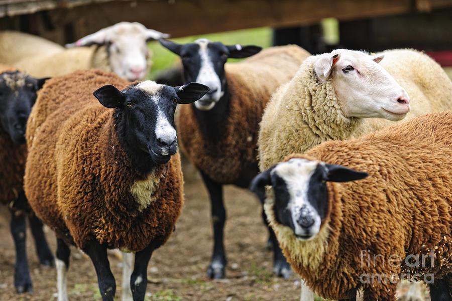 Sheep Photograph - Sheep On A Farm by Elena Elisseeva