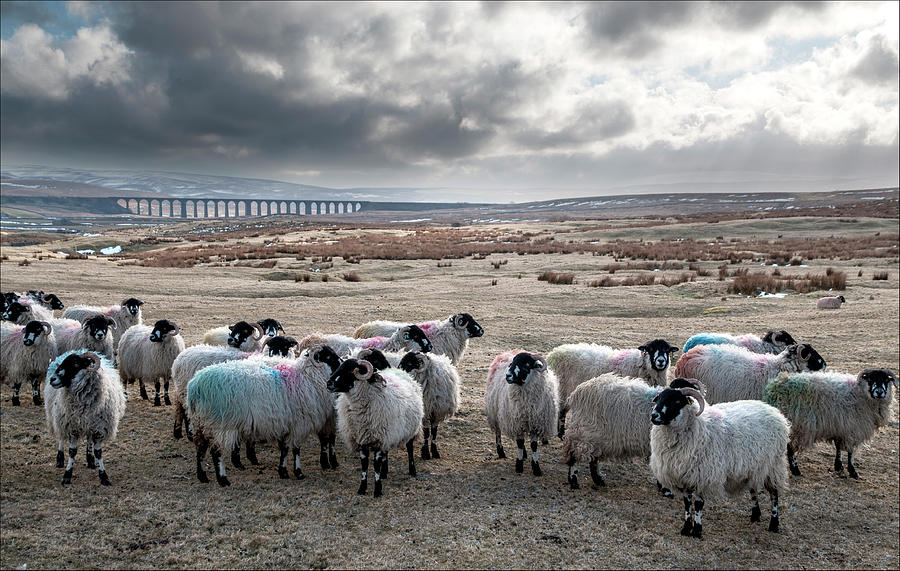 Sheep On A Wild Moor Photograph by Terry Roberts Photography
