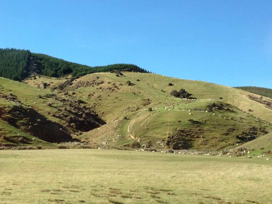 Sheep Photograph - Sheep On Hill by Ron Torborg
