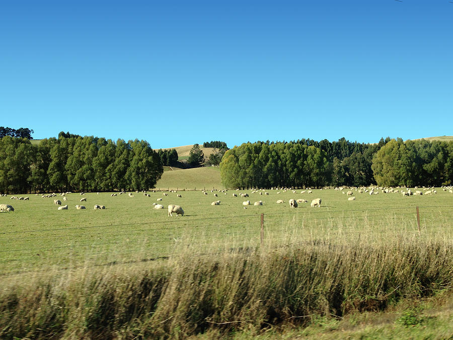 Sheep Photograph - Sheep On Roadside by Ron Torborg