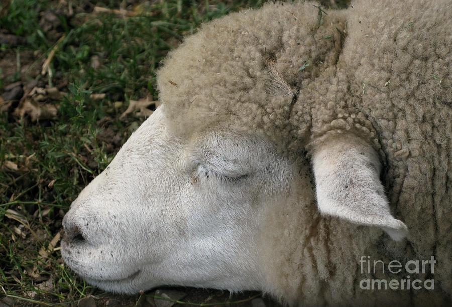 Sheep Photograph - Sheep Sleep by Ann Horn