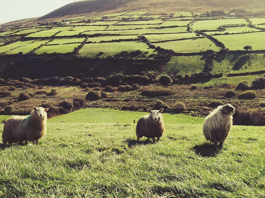 Sheep Standing In Field Photograph by Thomas Peham / Eyeem