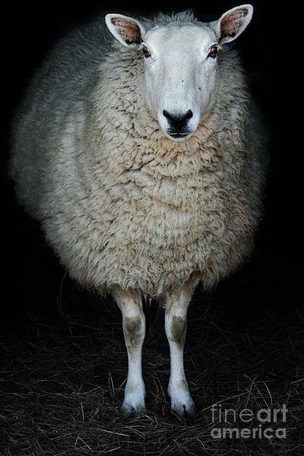 Cute Photograph - Sheep by Stephanie Frey