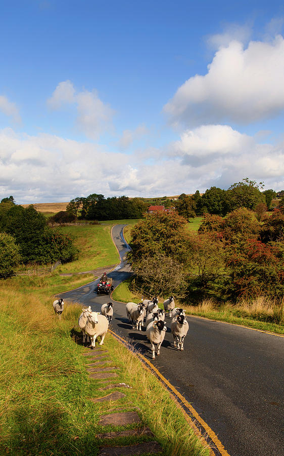 Vertical Photograph - Sheep With Shepherd On A Quad Bike by Panoramic Images
