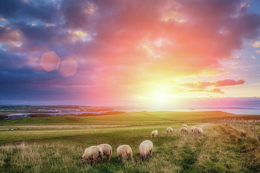 Sheeps In Ireland At Sunset Photograph by Mammuth