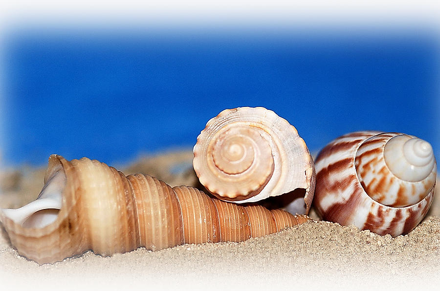 Seashell Photograph - Shells In Sand by Francie Davis