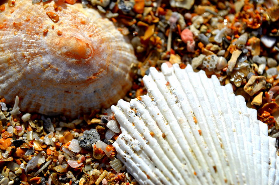 Shell Photograph - Shells On Sand by Riad Belhimer