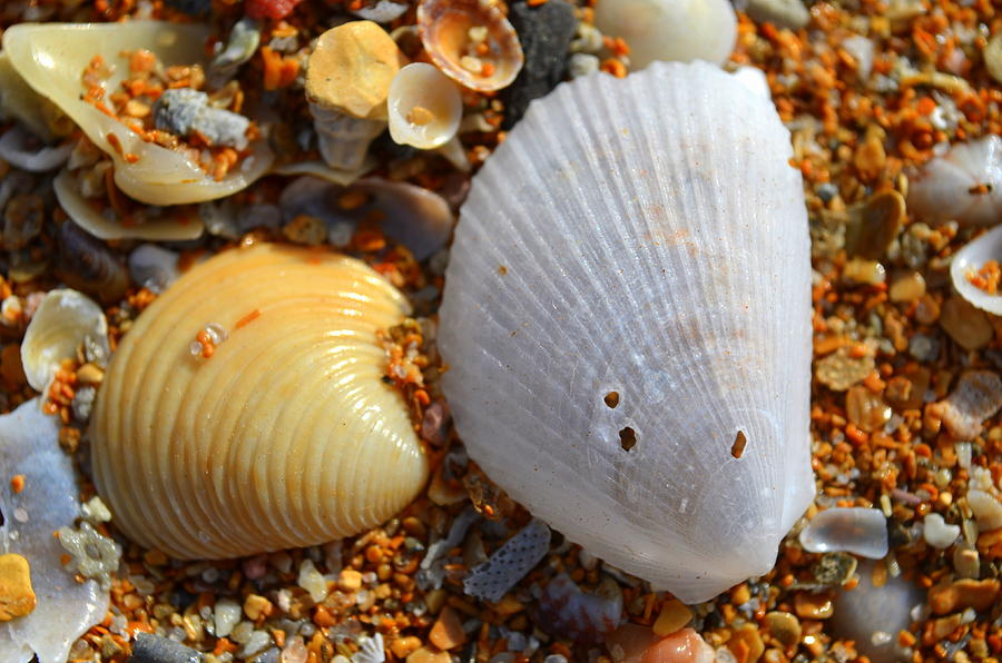 Shell Photograph - Shells On Sand2 by Riad Belhimer