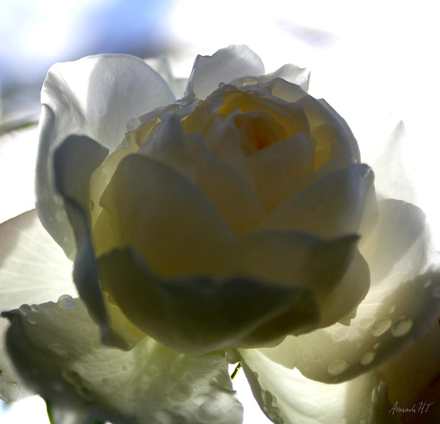Rose Photograph - Shelter From The Rain by Amanda Holmes Tzafrir
