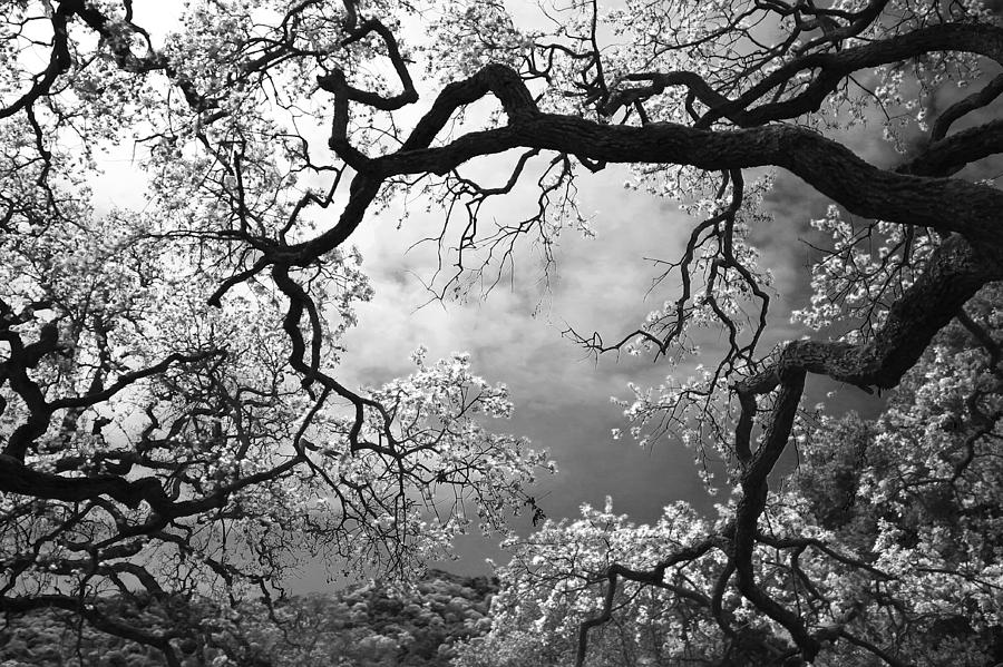 Oak Tree Photograph - Sheltering Sky by Laurie Search