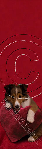 Bookmark Photograph - Sheltie Puppy With Heart # 468 by Jeanette K