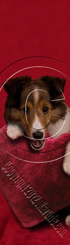Bookmark Photograph - Sheltie With Heart # 467 by Jeanette K
