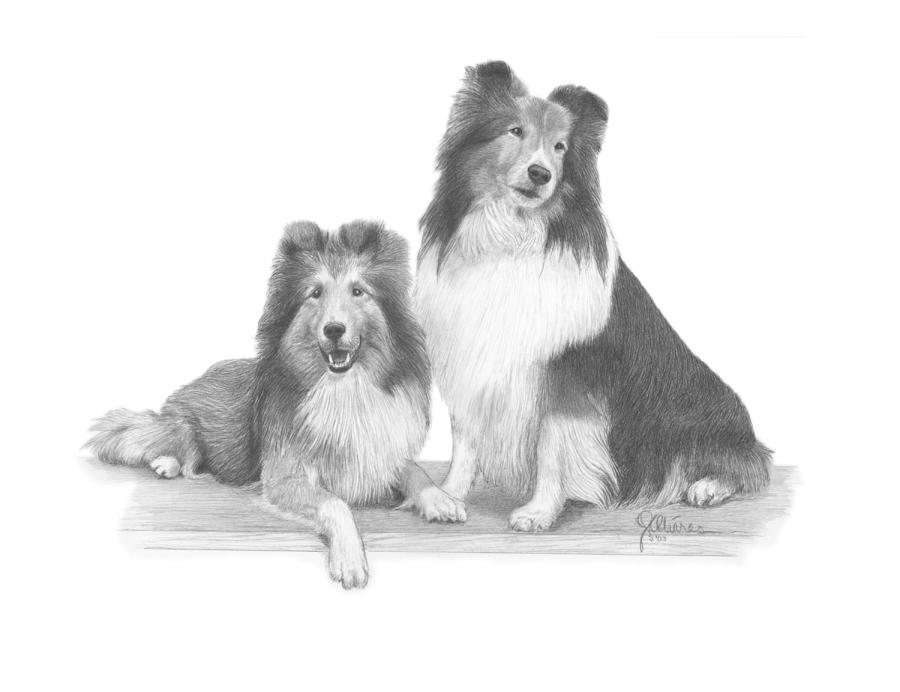 Shelties Drawing - Shelties by Joe Olivares