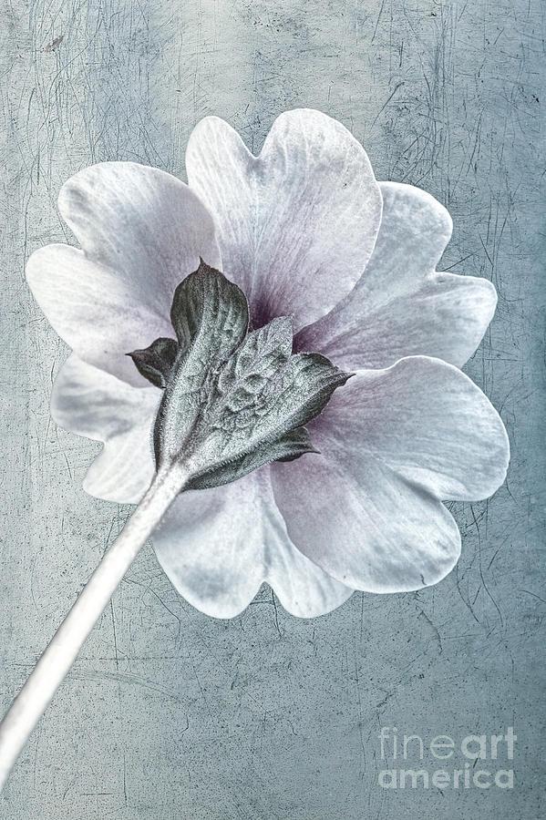 Primula Vulgaris Photograph - Sheradised Primula by John Edwards