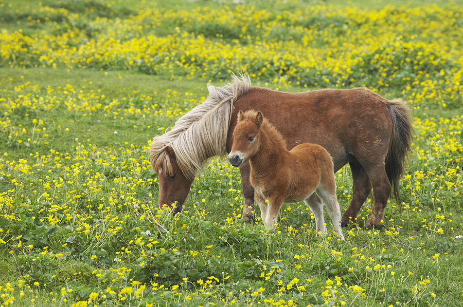 Shetland Pony Foal In Marsh Marigold Photograph by Bill Coster