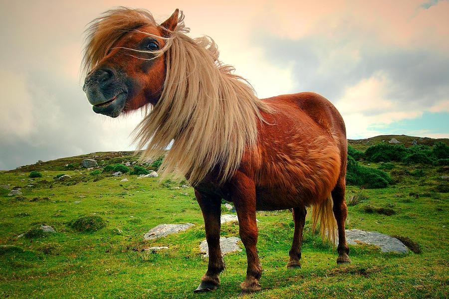 Shetland Pony by John McKinlay