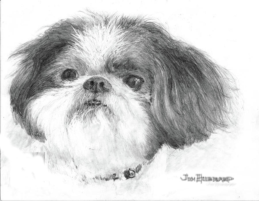 Shih-tzu Drawing - Shih-tzu by Jim Hubbard