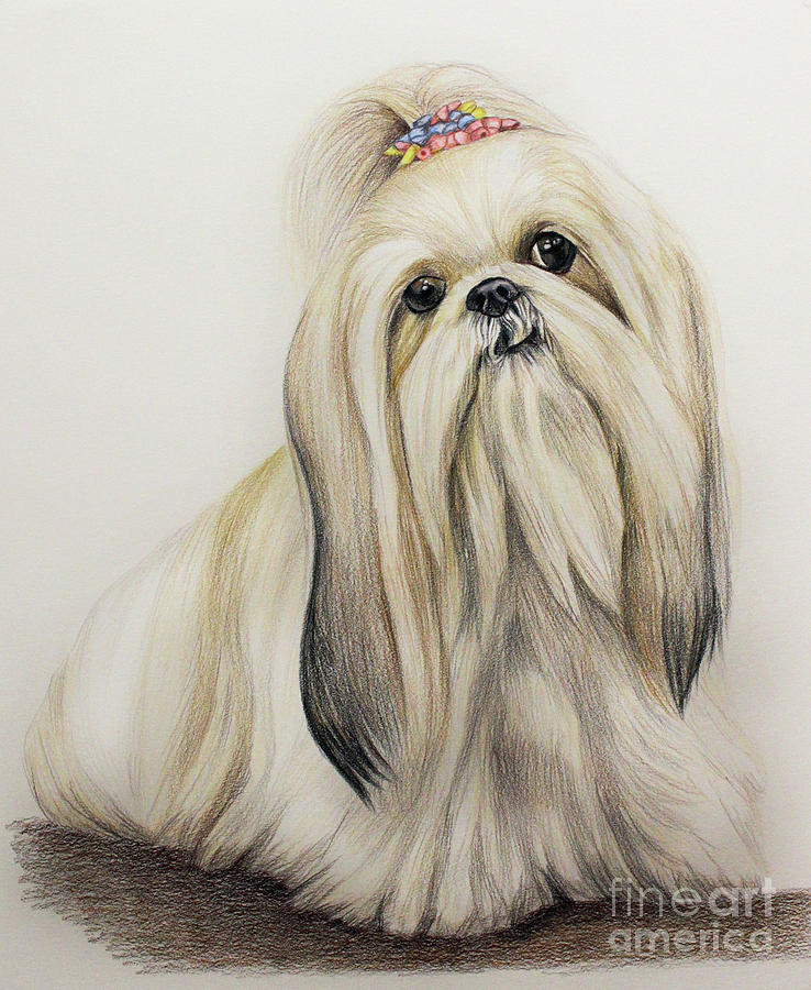 Color Drawing - Shih Tzu by Lena Auxier
