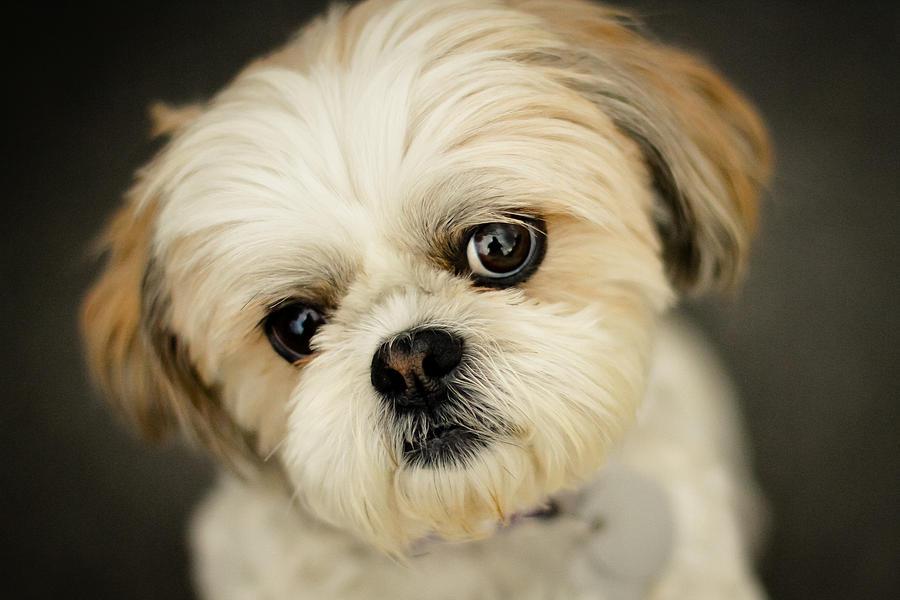 Shih Tzu Little Dog Photograph by Joel Hawkins