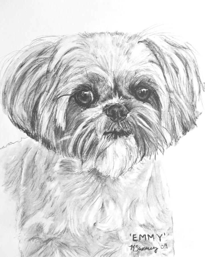 Shih Tzu Portrait In Charcoal Drawing By Kate Sumners