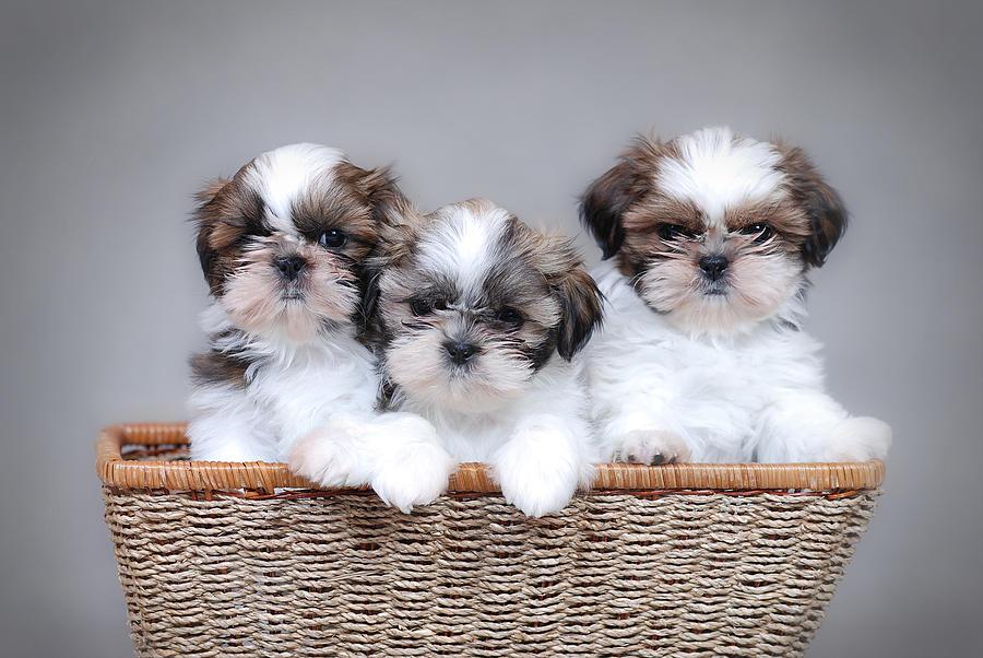 Shih Tzu Puppies Photograph by Waldek Dabrowski
