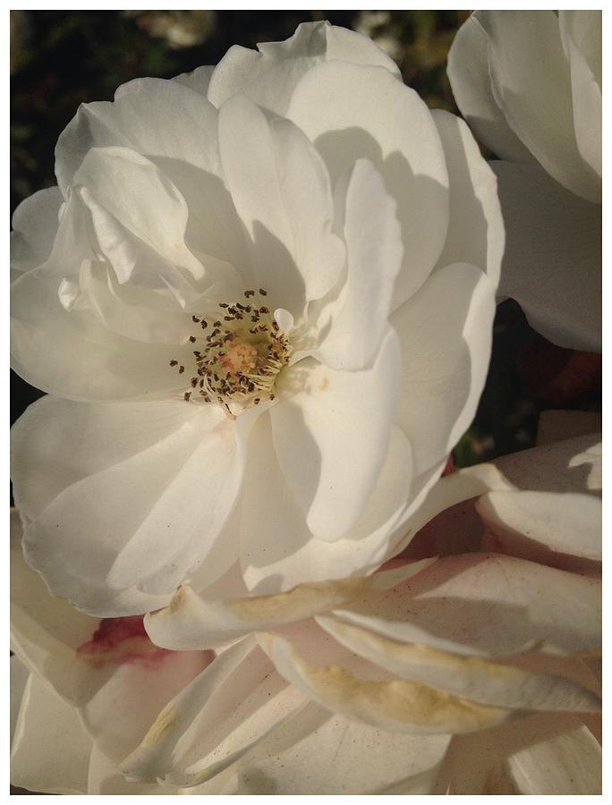 White Roses Photograph - Shine On by Daniele Smith