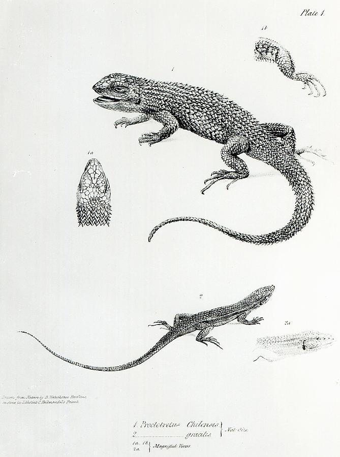 Nature Painting - Shingled Iguana by English School