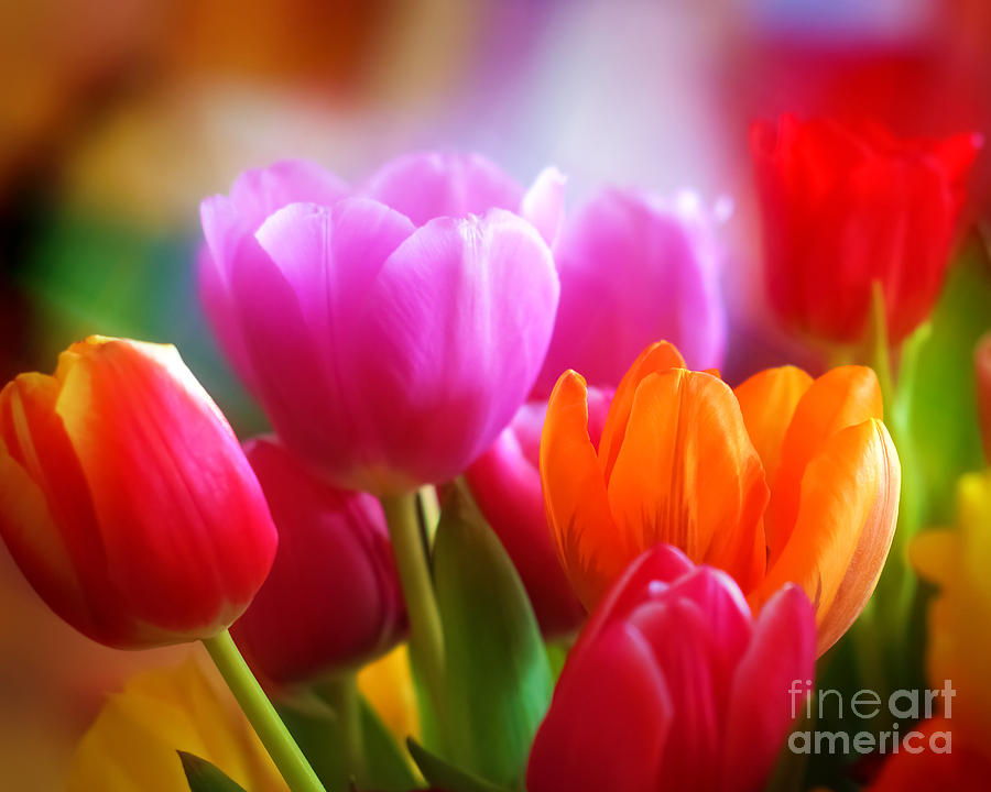 Tulips Photograph - Shining Tulips by Lutz Baar