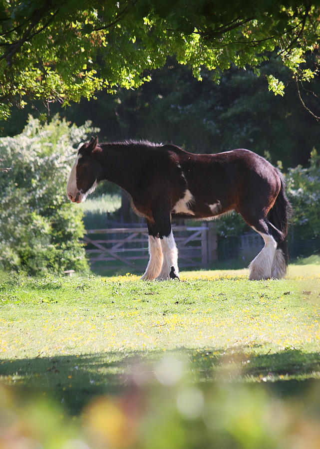 Horse Photograph - Shire Horse  by Stephen Norris