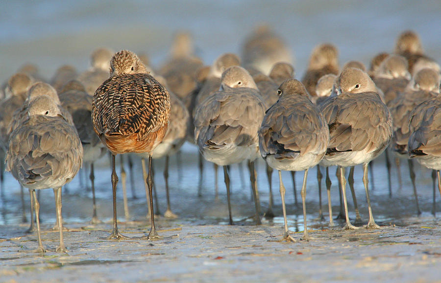 Marbled Godwit Photograph - Shorebirds At Flamingo Bay by Karen Lindquist