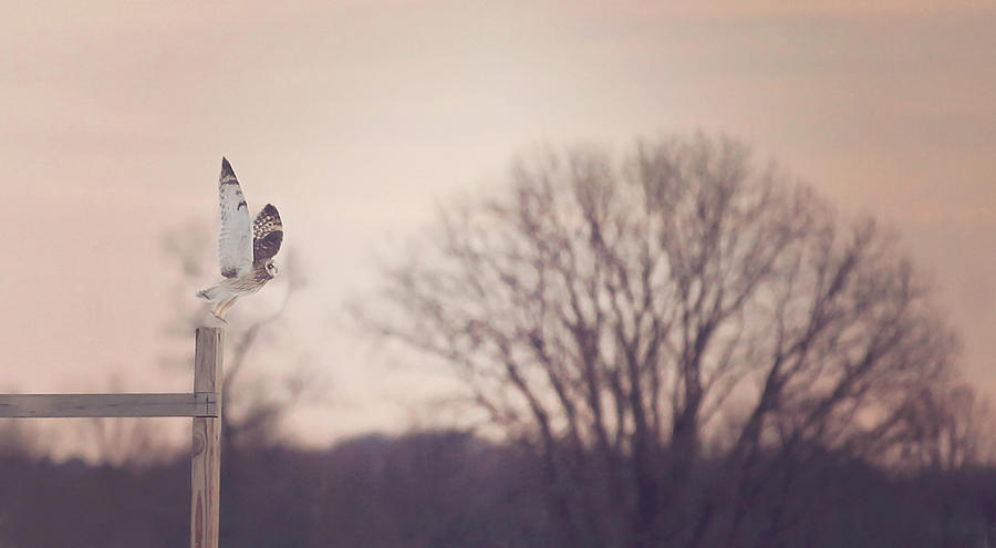Winter Photograph - Short Eared Owl At Dusk by Carrie Ann Grippo-Pike